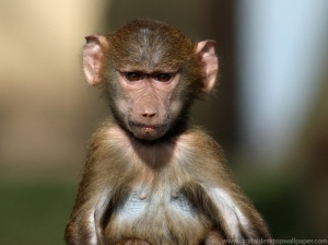 Baby baboon sez: I judge your internet usage.